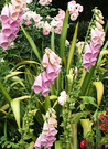 Old Foxgloves