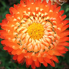 Orange Straw Flower