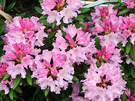 Rhodo Late Flowering