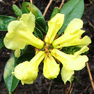 Rhodo Lime Yellow