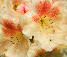 Rhodo Pretty Cream Red