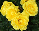 Rose Freisia Golden