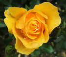 Rose Glowing Yellow