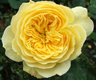 Rose Scruffy Yellow