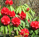 Spring Red Rhododendron