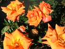 Apricot Sunny Roses