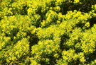 Citrus Yellow Wattle