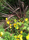 Cordyline Yellow Daisies