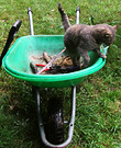 Lilli Wheelbarrow Cat