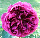 Othello Late Rose