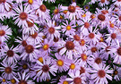 A Autumn Asters