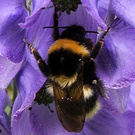 Aconitum Bumble Bee