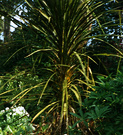 Early Cordyline