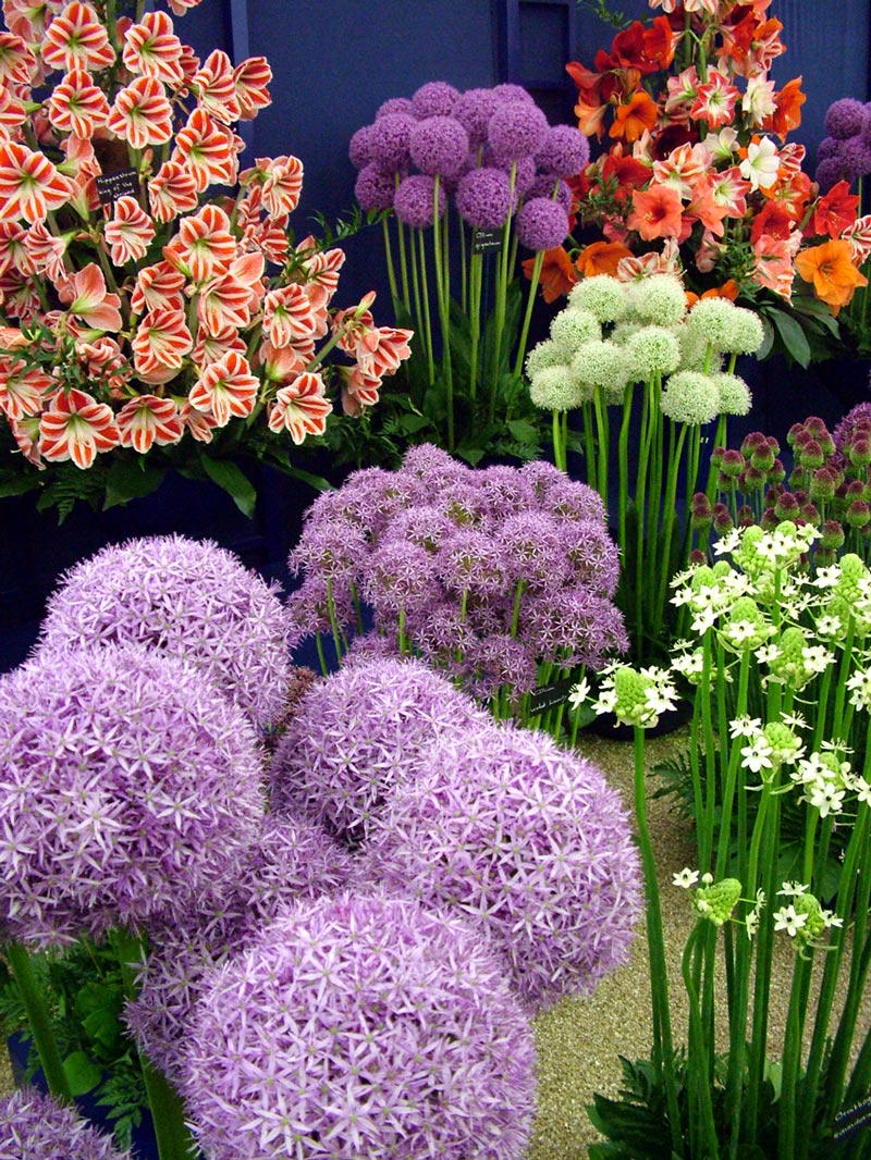 http://images.mooseyscountrygarden.com/hampton-court-flower-show/hampton-court-flower-show-marquees/allium-pinball-wizard-amaryllis.jpg