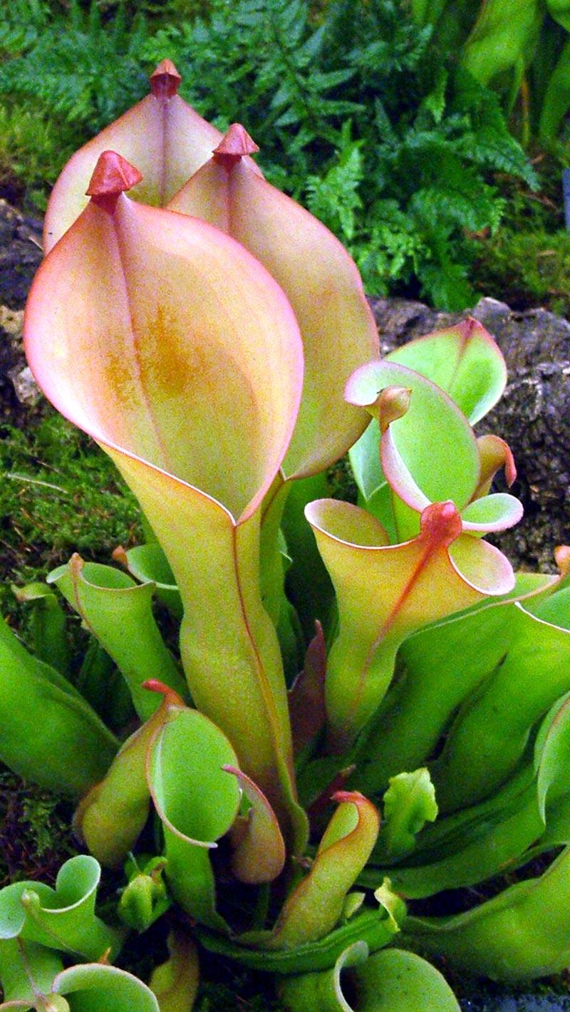 Carnivorous plants pitcher plant - photo#14