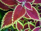 Red Green Coleus