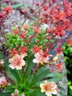 Red Pink Alpine Plants