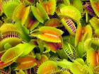 Venus Fly Trap Plants