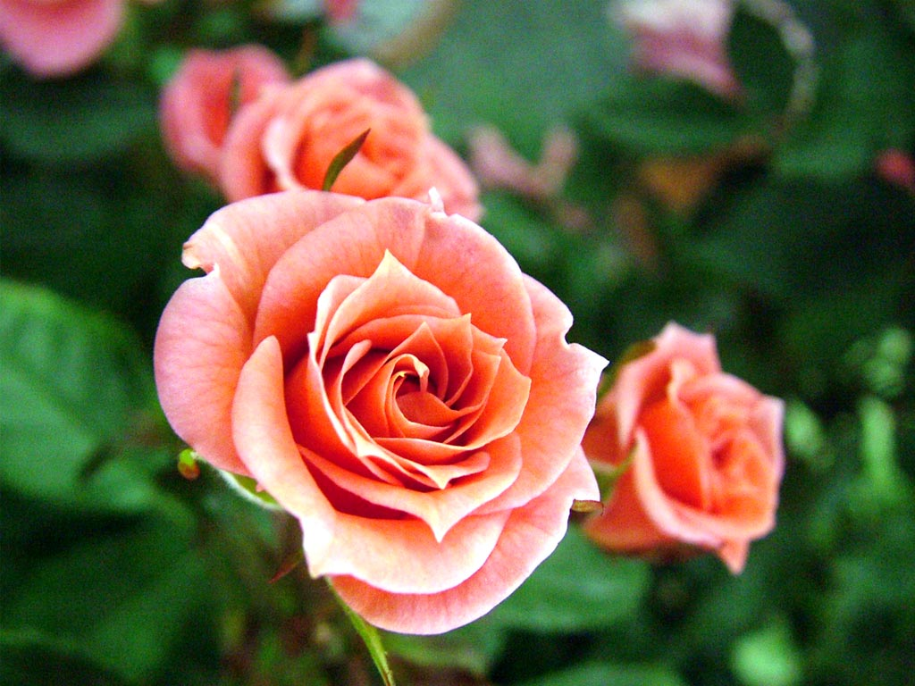 Flower show hton court flower show roses subscribe recent news