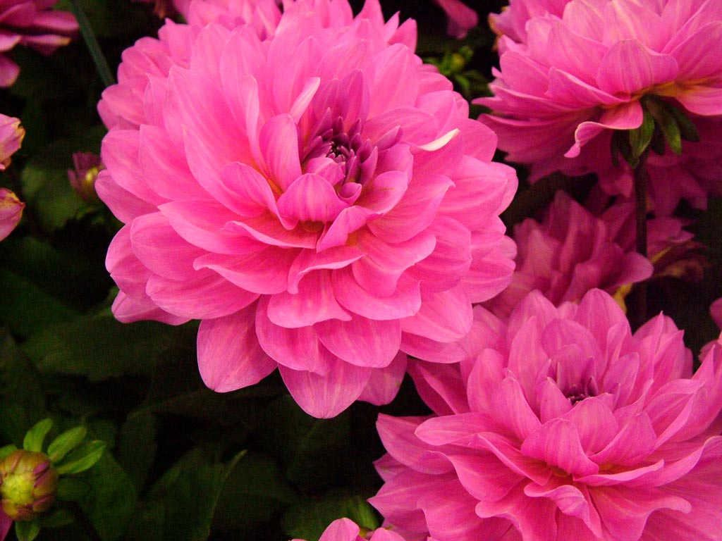 Miniette bride dahlias for Flowers that look like dahlias