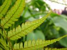 Fern Leaf Closeup