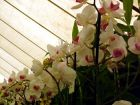 Floral Marquee Orchid