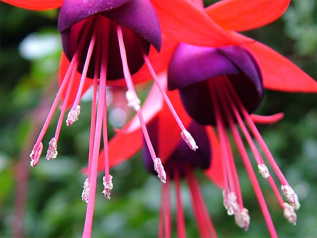 photos of fuschi flowers
