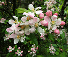 Apple Blossom Rain