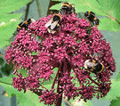 Bees Angelica Gigas