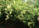 Big Banksia Rose