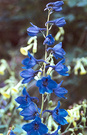 Blue Delphinium Flowers
