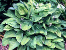 Blue Green Hosta