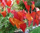 Cercis Autumn Tree