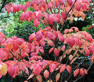 Cornus Leaves Red