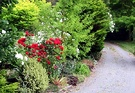 Driveway Red Roses