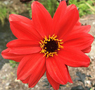 Dahlias Bishop Red