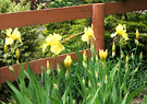 Fence Irises Yellow