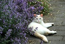Catmint Cat White