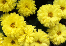 Mum Small Yellow