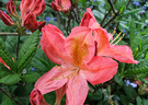 Azalea Deciduous Bloom