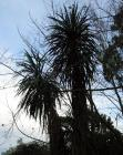 Cordyline Tree Sky