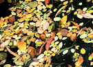 Leaves Autumn Floating