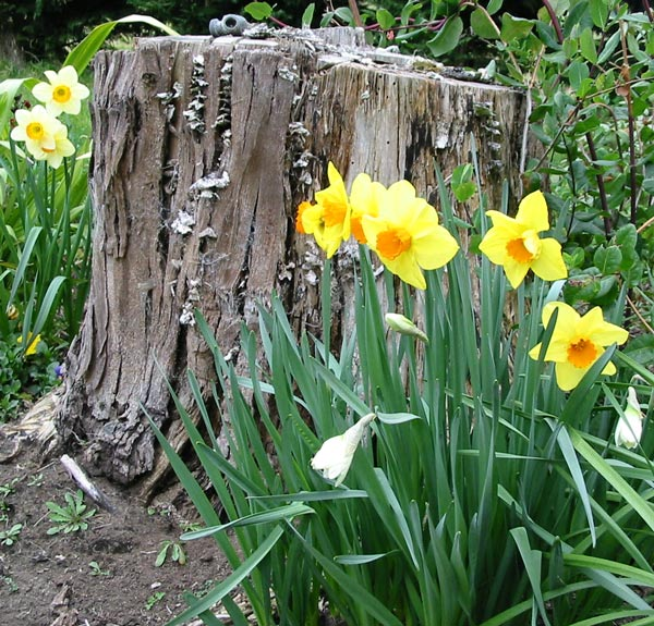 Let's see your smoking chair Daffodils-tree-stump