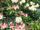 Flax Apricot Rhododendron