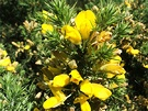 Gorse Prickles