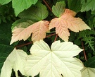 Variegated Leaf Maple