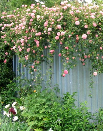 http://images.mooseyscountrygarden.com/roses/climbing-rose.jpg