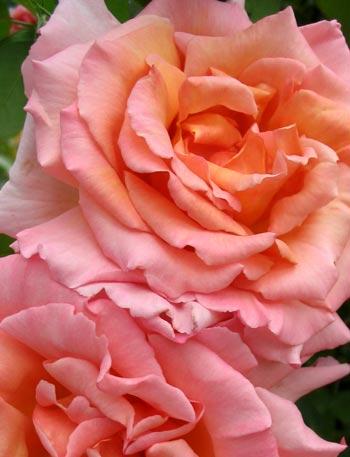 Pink Rose Petals. compassion rose petals