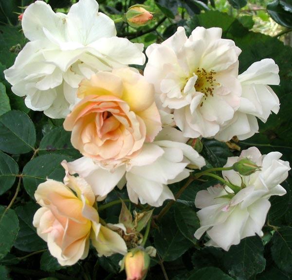 http://images.mooseyscountrygarden.com/roses/cornelia-hybrid-musk-rose.jpg
