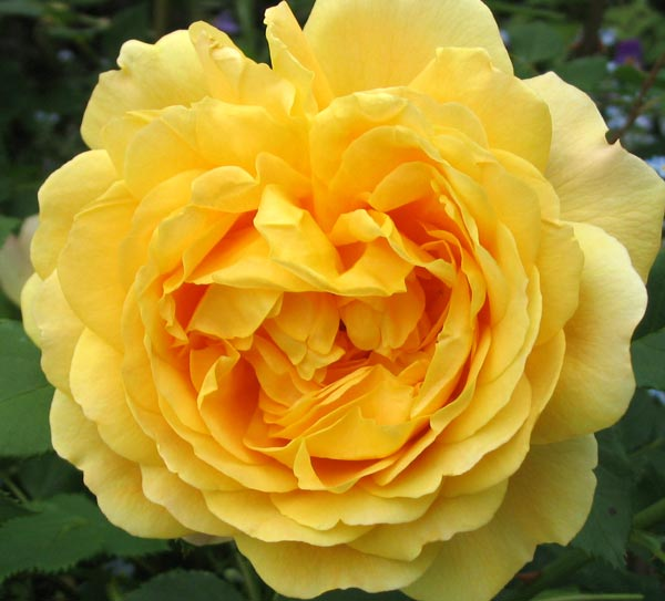 Golden Rose Flower Golden Celebration Rose